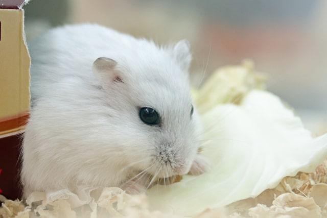 hamster-eat-lettuce