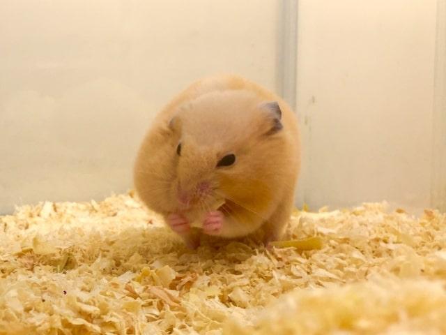 hamster-eat-melon
