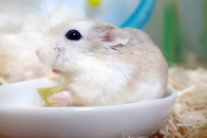 hamster-eat-spinach