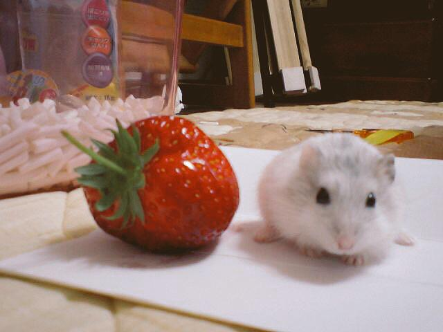 strawberry-eat-hamster-1-min