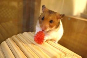 strawberry-eat-hamster-2