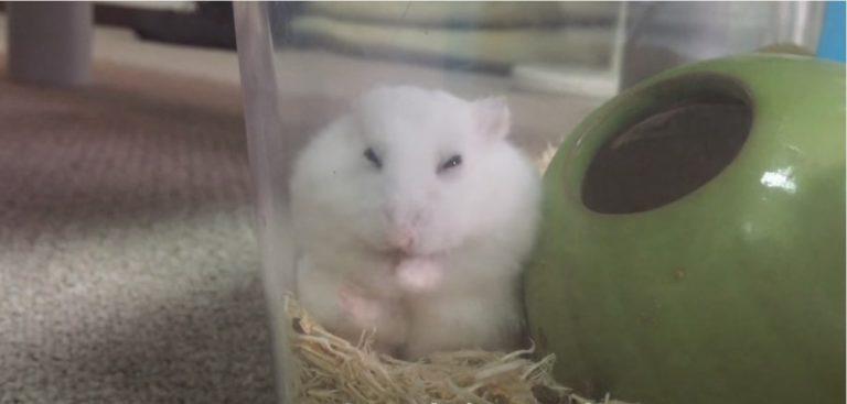 hamster-grooming-1