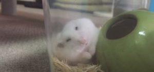 hamster-grooming-3