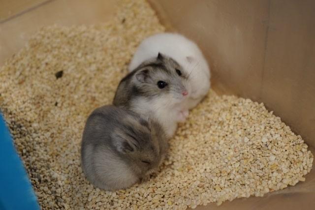 Jungarian-hamsters