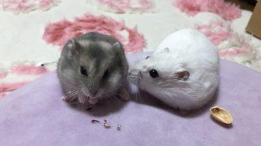 ハムスターの繁殖とお見合い!交尾・妊娠・出産の注意点