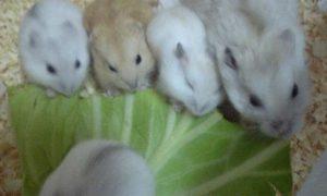 family-hamster