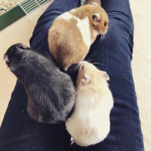 golden-hamsters