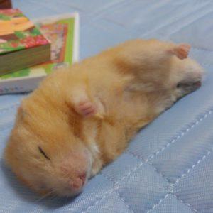hamster-Lying-down1