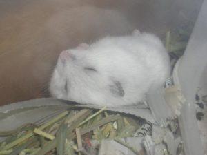 hamster-Lying-down5