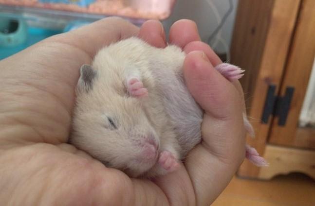 hamster-flat-on-back7