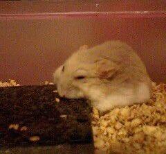 hamster-prone2