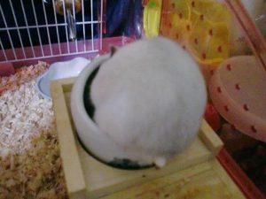 hamster-sleep