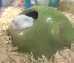 sleep-hamster