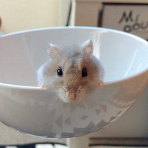 hamster-in-bowl