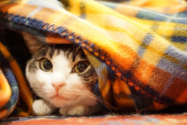 cat-wrapped-in-blanket