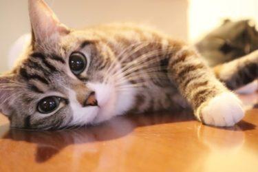 猫を飼うんじゃなかったと後悔して疲れる前に!15の猫の事前知識