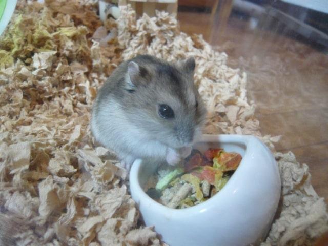 hamster-eat-cucumber