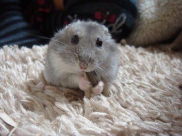 hamster-eat-sunflower-seed