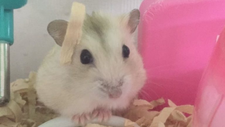 hamster-and-wood-chips