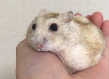 hamster-bites