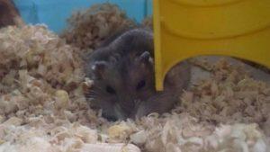 hamster-lay-down