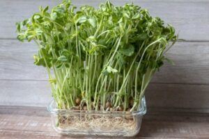 pea-sprouts