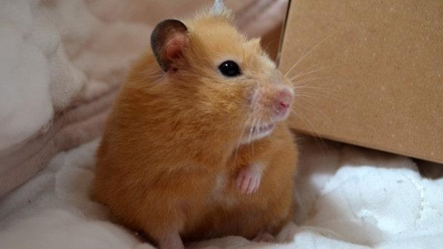 shivering-hamster