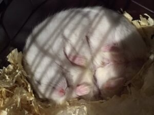 sleeping-hamster-2