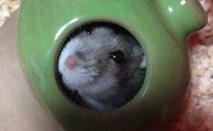 cute-hamster2