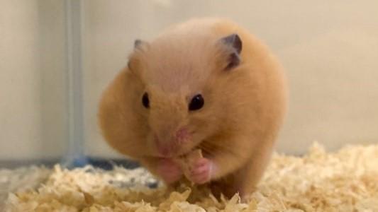 hamster-eat-pellet