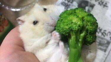 ハムスターの野菜おすすめ10選!量と頻度、毎日与えた方が良い?