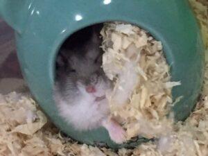 hamster-constipation-2